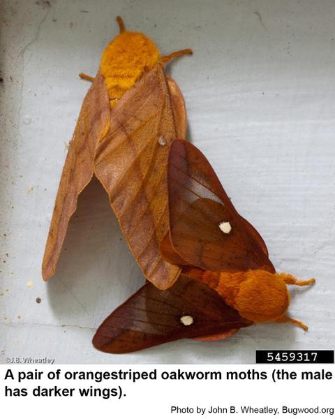Moths of orangestriped oakworms